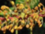 flor alfarroba.jpg