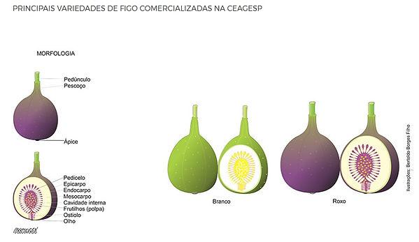 caracteristicas do figo