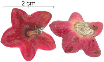 heisteria flor