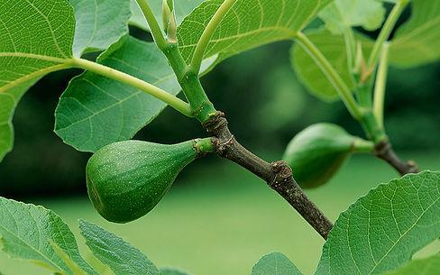 plantar figo