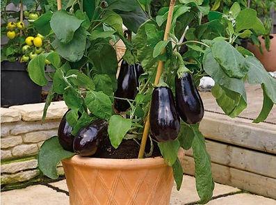 plantar berinjela