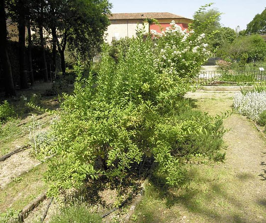 árvore fruta goji berry