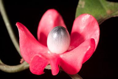 heisteria fruta