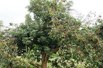 árvore pulasan