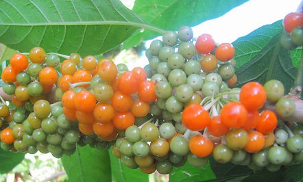 fruta do sabiá