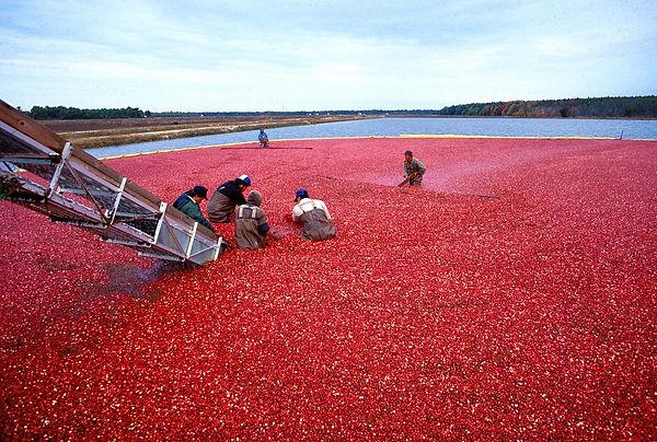 colhendo Cranberry