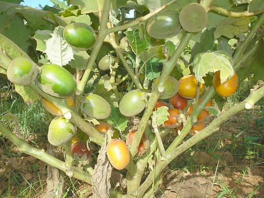 fruta mana cubiu