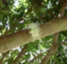flor cambucá