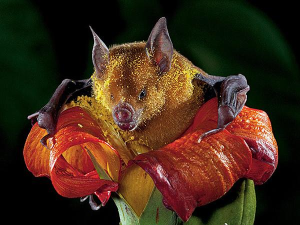 morcego polinizando