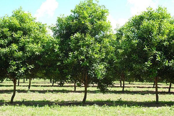 árvore macadamia