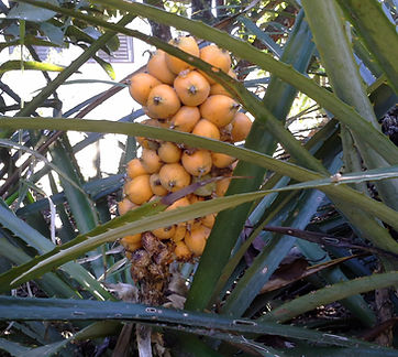 Gravata fruta