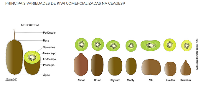 variedades kiwi