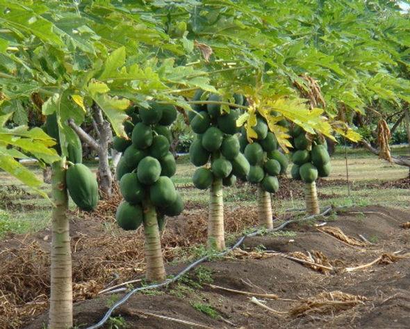 cultivar mamão