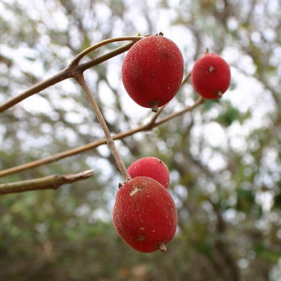 fruta veludo
