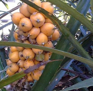 fruta gravatá onde encontrar