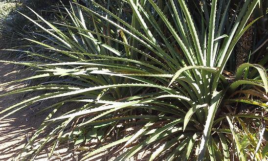 Gravatá planta