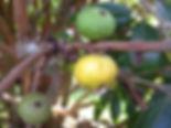 Fruta cambucá