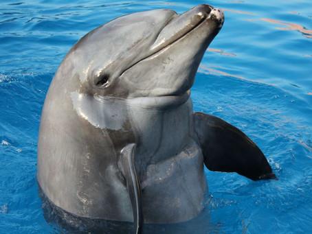 uShaka Marine World mourns the passing of Gambit, the dolphin