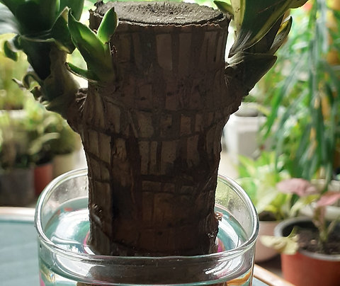 Lucky Wood(Braziletto)