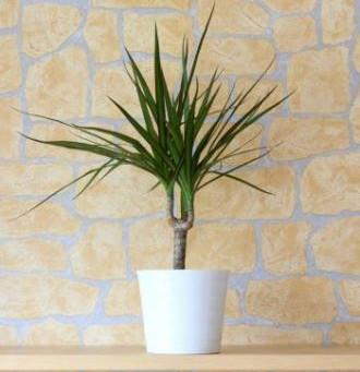 DRAGON PLANT CARE