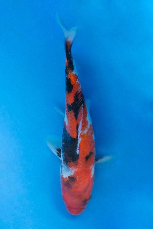 19cm Showa (Hiroi)