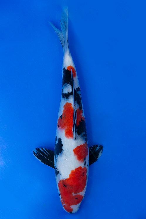 38cm Showa (Hoshikin)