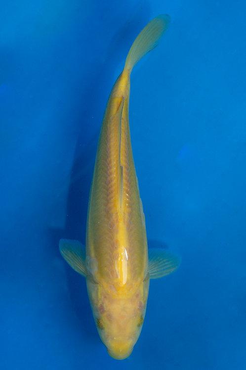 23cm Karashigoi (Yamazaki)