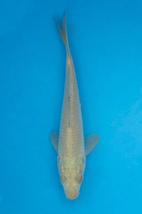 15cm Soragoi (Hirasawa)