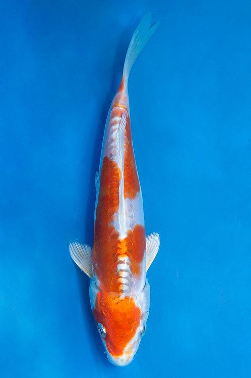 20cm Kikusui (Marusaka)