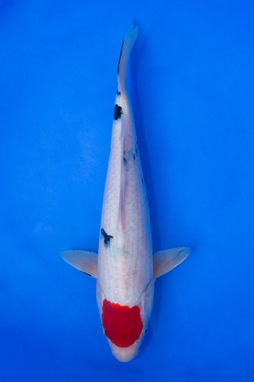 35cm Tancho Sanke (Oofuchi)