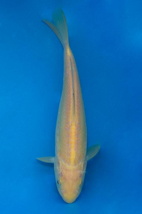 22cm Karashigoi (Yamazaki)