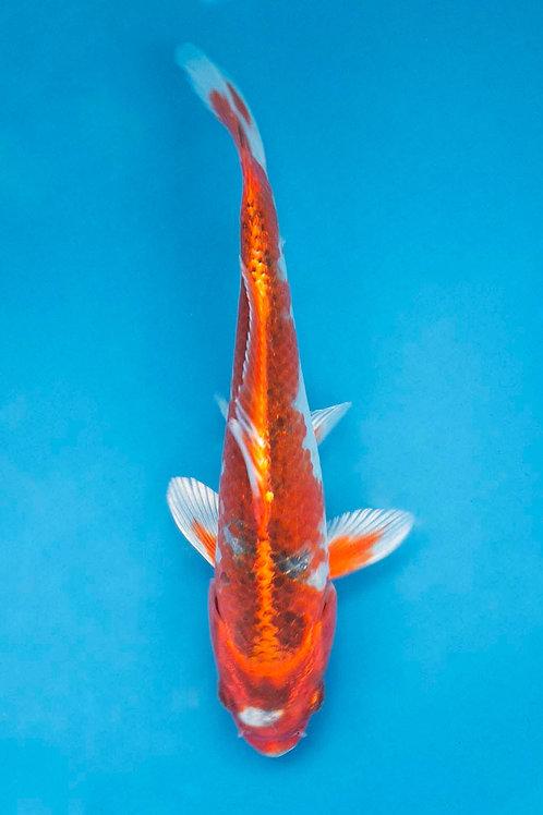 17cm Kujaku (Hirasawa)