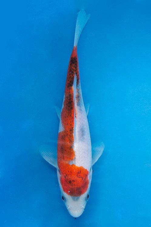 16cm Budo Goromo (Sakazume)