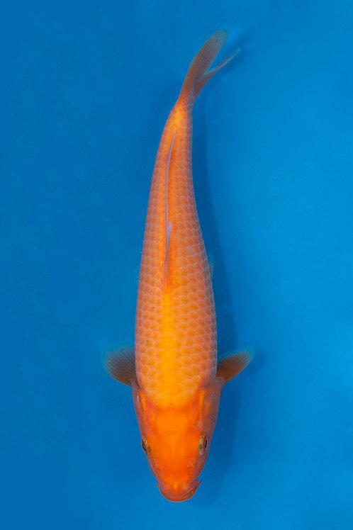 20cm Benigoi (Oya)