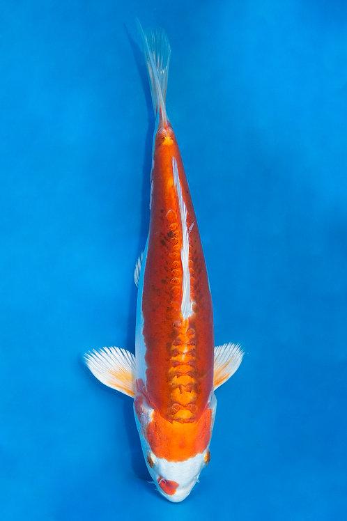 23cm Kikusui (Marusaka)