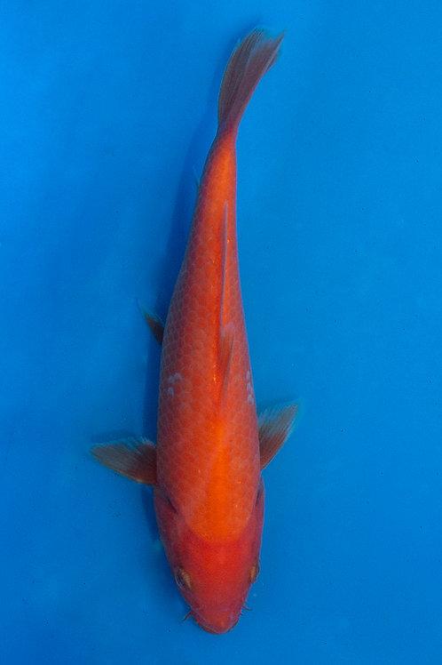 16cm Benigoi (Oya)