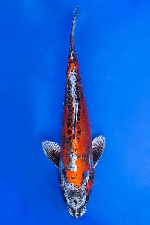 31cm Beni Kikokuryu (Katsumi)