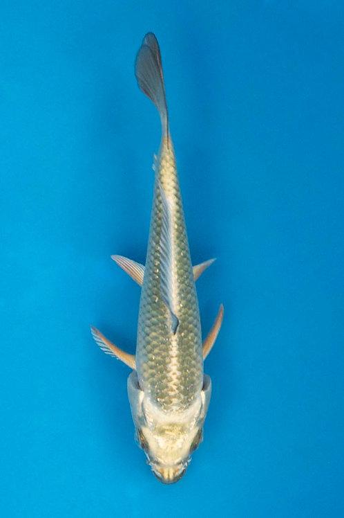 14cm Mukashi Ogon (Hirasawa)