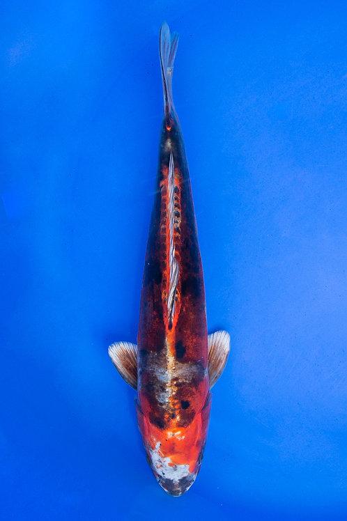33cm Beni Kikokuryu (Katsumi)