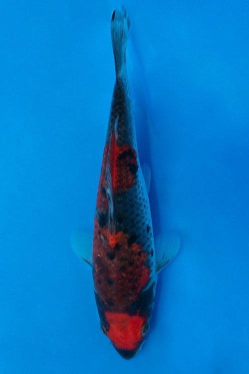 17cm Goshiki (Koda)