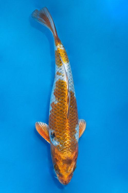23cm Kujaku (Koda)