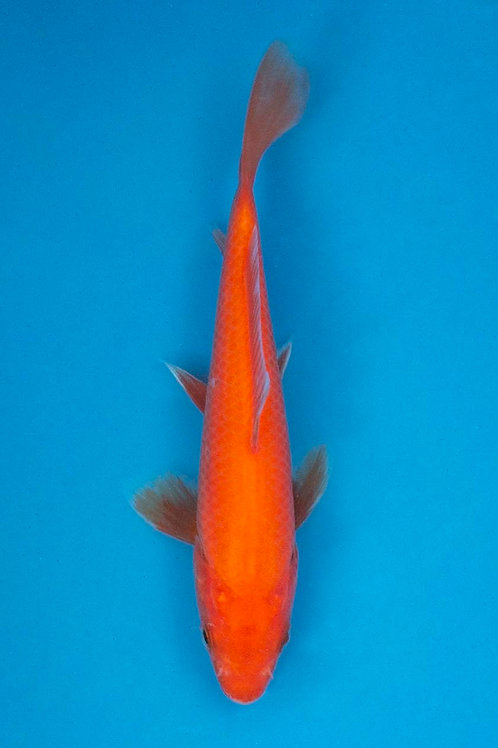 14cm Benigoi (Hirasawa)