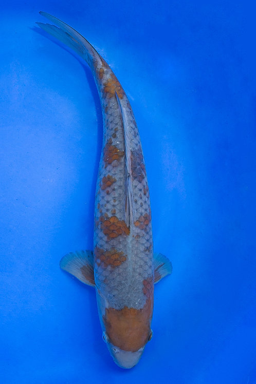 41cm Ochiba (Oofuchi)