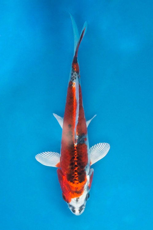 15cm Kujaku (Hirasawa)