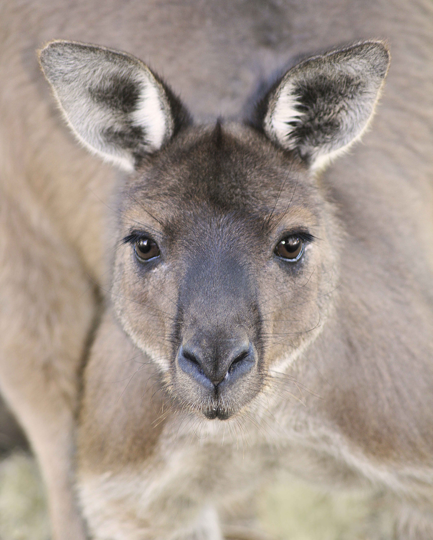 Kangaroo Island Wild Male Kangaroo
