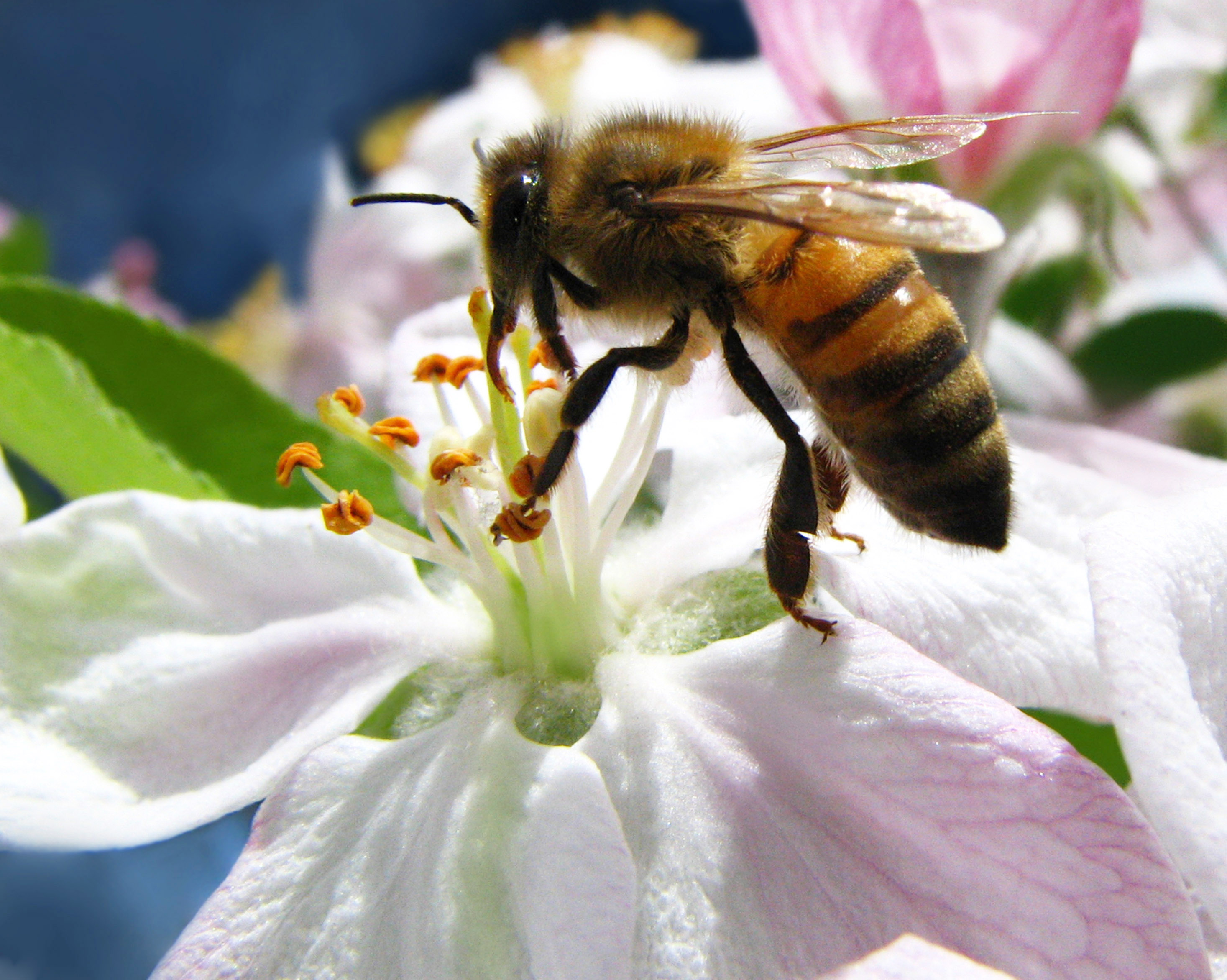 Ligurian Bee