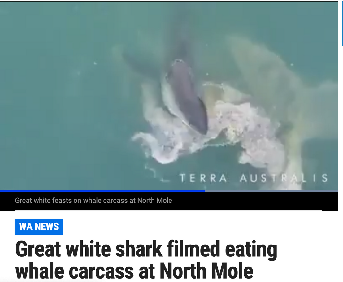 Terra Australis captures giant Great white shark feeding on sperm whale in Fremantle during a storm