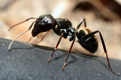 Pavement-ant2-1024x682.jpg