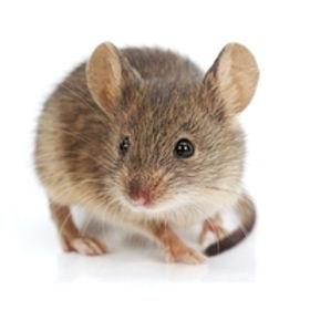 house-mouse.jpg