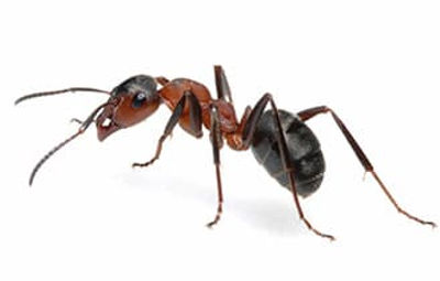 carpenter-ant.jpg